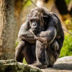 trauriger Gorilla?